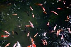 ornamental fish pond, koi fish