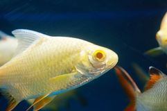 The ornamental fish swim in the pool of the aquarium. It`s beautiful and interesting Stock Photos