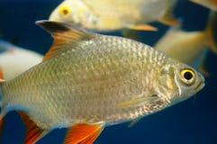 The ornamental fish swim in the pool of the aquarium. It`s beautiful and interesting Stock Photo