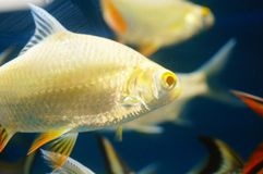 The ornamental fish swim in the pool of the aquarium. It`s beautiful and interesting Stock Images