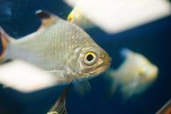 The ornamental fish swim in the pool of the aquarium. It`s beautiful and interesting Stock Image
