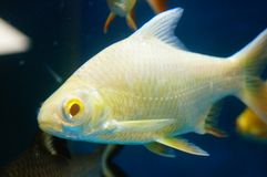 The ornamental fish swim in the pool of the aquarium. It`s beautiful and interesting Royalty Free Stock Photo