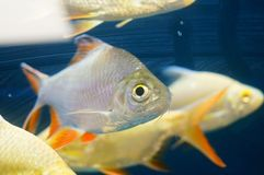 The ornamental fish swim in the pool of the aquarium. It`s beautiful and interesting Royalty Free Stock Image