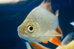 The ornamental fish swim in the pool of the aquarium. It`s beautiful and interesting Stock Photo