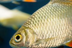The ornamental fish swim in the pool of the aquarium. It`s beautiful and interesting Royalty Free Stock Images