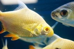 The ornamental fish swim in the pool of the aquarium. It`s beautiful and interesting Royalty Free Stock Photography