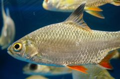 The ornamental fish swim in the pool of the aquarium. It`s beautiful and interesting Stock Photography