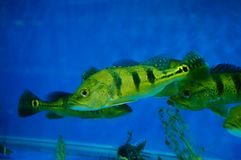 The ornamental fish swim in the pool of the aquarium. It`s beautiful and interesting Royalty Free Stock Photos