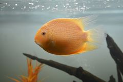 Ornamental fish which are contained. In aquariums. The first mention of artificial fish breeding in China dated back to 1500 years BC. e Royalty Free Stock Images