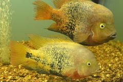 Ornamental fish which are contained. In aquariums. The first mention of artificial fish breeding in China dated back to 1500 years BC. e Royalty Free Stock Photos