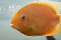 Ornamental fish which are contained. In aquariums. The first mention of artificial fish breeding in China dated back to 1500 years BC. e Royalty Free Stock Photography