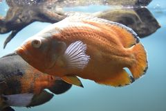 Ornamental fish which are contained. In aquariums. The first mention of artificial fish breeding in China dated back to 1500 years BC. e Stock Images