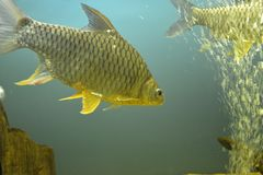 Ornamental fish which are contained. In aquariums. The first mention of artificial fish breeding in China dated back to 1500 years BC. e Stock Image