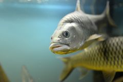 Ornamental fish which are contained. In aquariums. The first mention of artificial fish breeding in China dated back to 1500 years BC. e Stock Photography