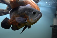 Ornamental fish which are contained. In aquariums. The first mention of artificial fish breeding in China dated back to 1500 years BC. e Royalty Free Stock Image