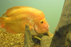 Ornamental fish which are contained. In aquariums. The first mention of artificial fish breeding in China dated back to 1500 years BC. e Stock Photo