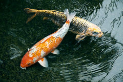 Ornamental fishes in dark pond Royalty Free Stock Image