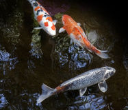 Ornamental fishes swimming in a pond Royalty Free Stock Photography