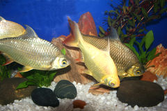Ornamental fishes in water tank Royalty Free Stock Photo