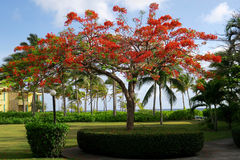 Ornamental Flamboyant Tree in Tropical Setting Royalty Free Stock Images