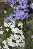 Ornamental flower, Campanula isophylla Royalty Free Stock Photos