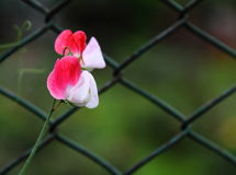 Ornamental Flower of Pea royalty free stock image