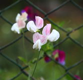 Ornamental Flower of Pea stock images