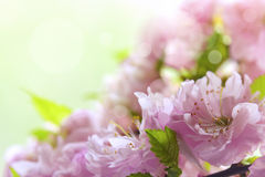 Ornamental flowering almond Royalty Free Stock Images