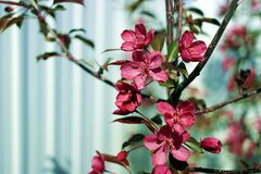 Ornamental flowering branches red apple Stock Photography