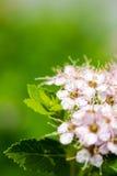 Ornamental Flowering Bush Stock Photography