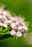 Ornamental Flowering Bush Stock Photo