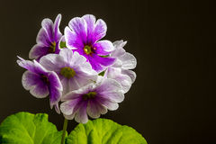 Ornamental flowers. Primroses , ornamental flowers decoration in white and purple used for decoration of interior spaces Stock Photography