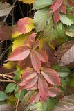 Ornamental foliage of Parthenocissus quinquefolia. In autumn Stock Photo