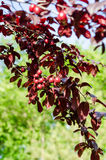 Ornamental fruit tree. Stock Images