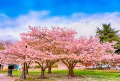 Ornamental garden with majestically blossoming large cherry tree. S on a fresh green lawn royalty free stock photography