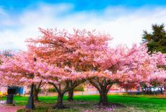 Ornamental garden with majestically blossoming large cherry tree. S on a fresh green lawn royalty free stock photos