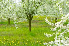 Ornamental garden with majestically blossoming large trees on a fresh green lawn.  stock images