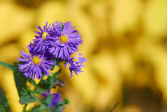 Ornamental garden plants flowering in autumn Perennial Aster Royalty Free Stock Photos