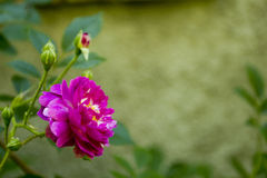 Ornamental garden rose Stock Photography