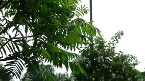 The ornamental garden tree large leaves dripping raindrops. The ornamental garden tree large serrated leaves dripping raindrops stock footage