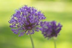 Ornamental Garlic Stock Photography