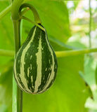 Ornamental gourd fruit Royalty Free Stock Photos
