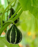 Ornamental gourd on its tree Stock Photo
