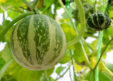 Ornamental gourd plant Royalty Free Stock Image
