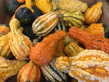 Ornamental Gourds in all colors and shapes. Gourds in colors of green, yellow, orange, almost black. Some of the gourds are heavily warted and some have smooth royalty free stock image