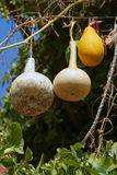 Ornamental gourds Stock Photography
