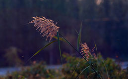 Ornamental grass Royalty Free Stock Photo