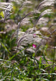 Ornamental grass. In the sunshine Royalty Free Stock Images
