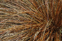 Ornamental grass. In northwest garden stock image