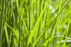 Ornamental Grass Back Lit Stock Image